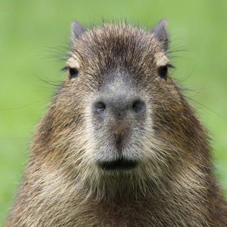 capybara-square-1.jpg